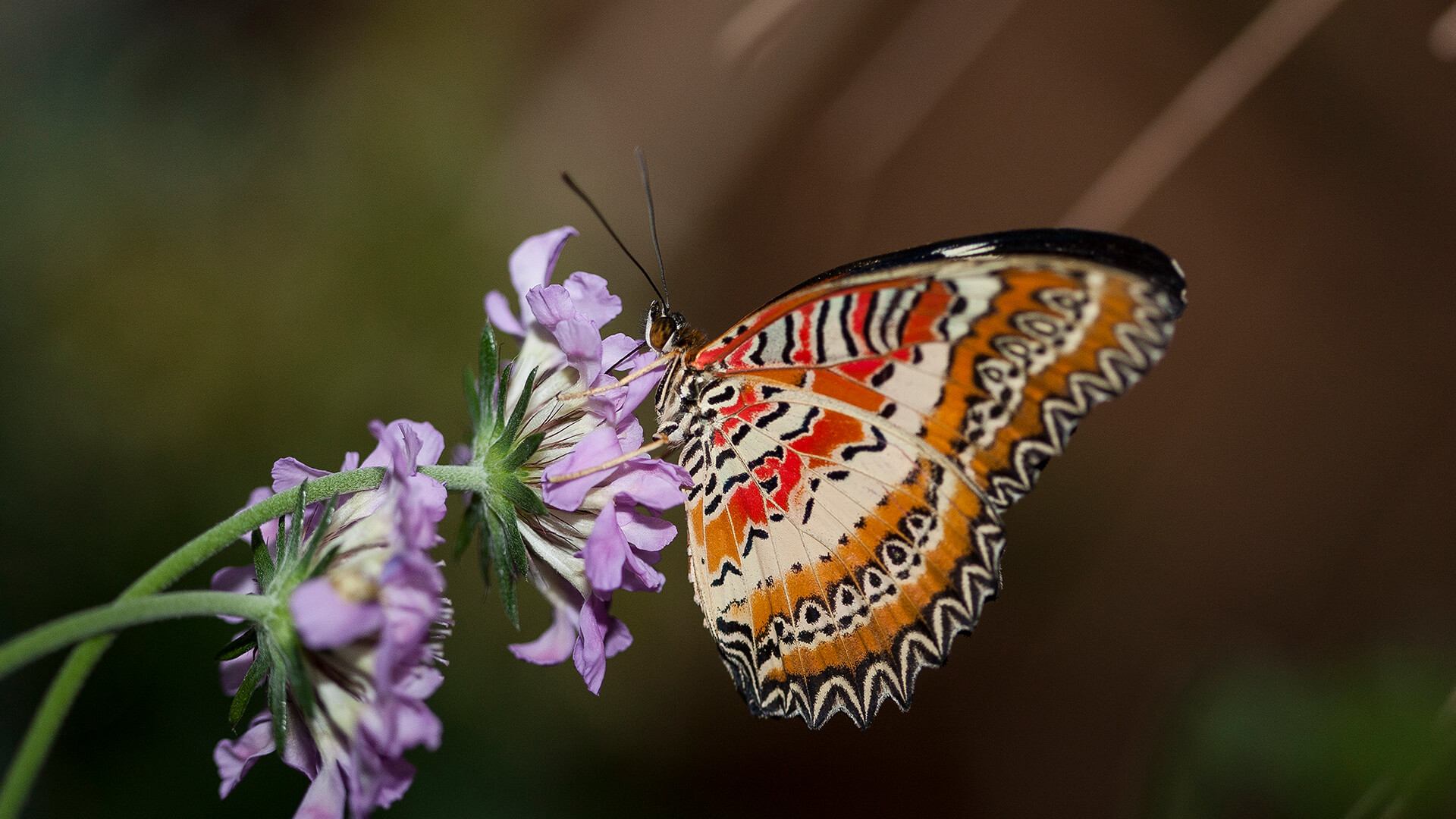 Orange colored butterfly sipping nectar from a purple flower