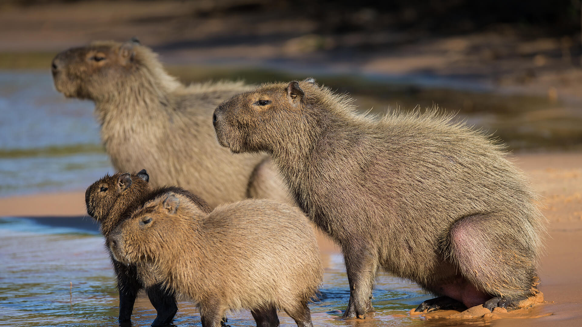 Group of Capybara on a river bank in Pantanal Brazil