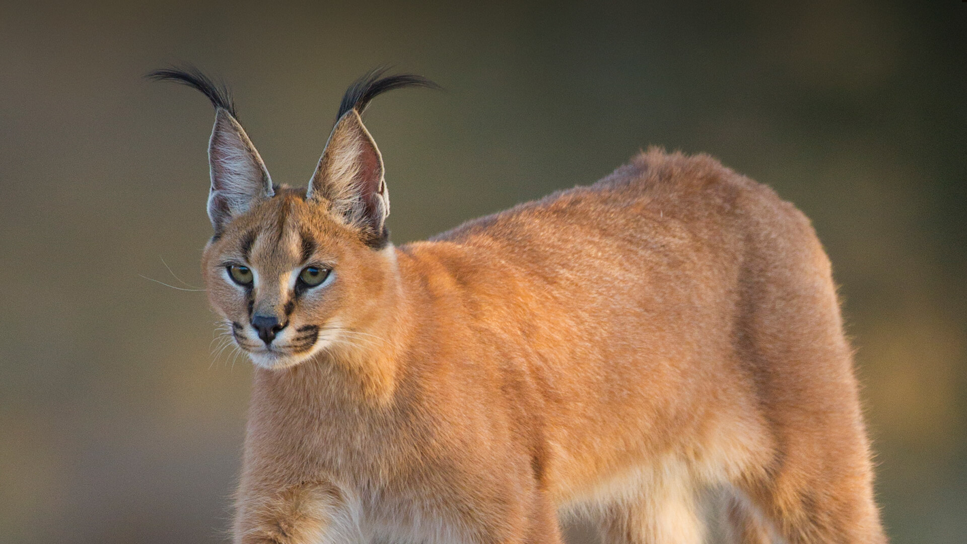 Caracal (cat): description of the breed, photo 17