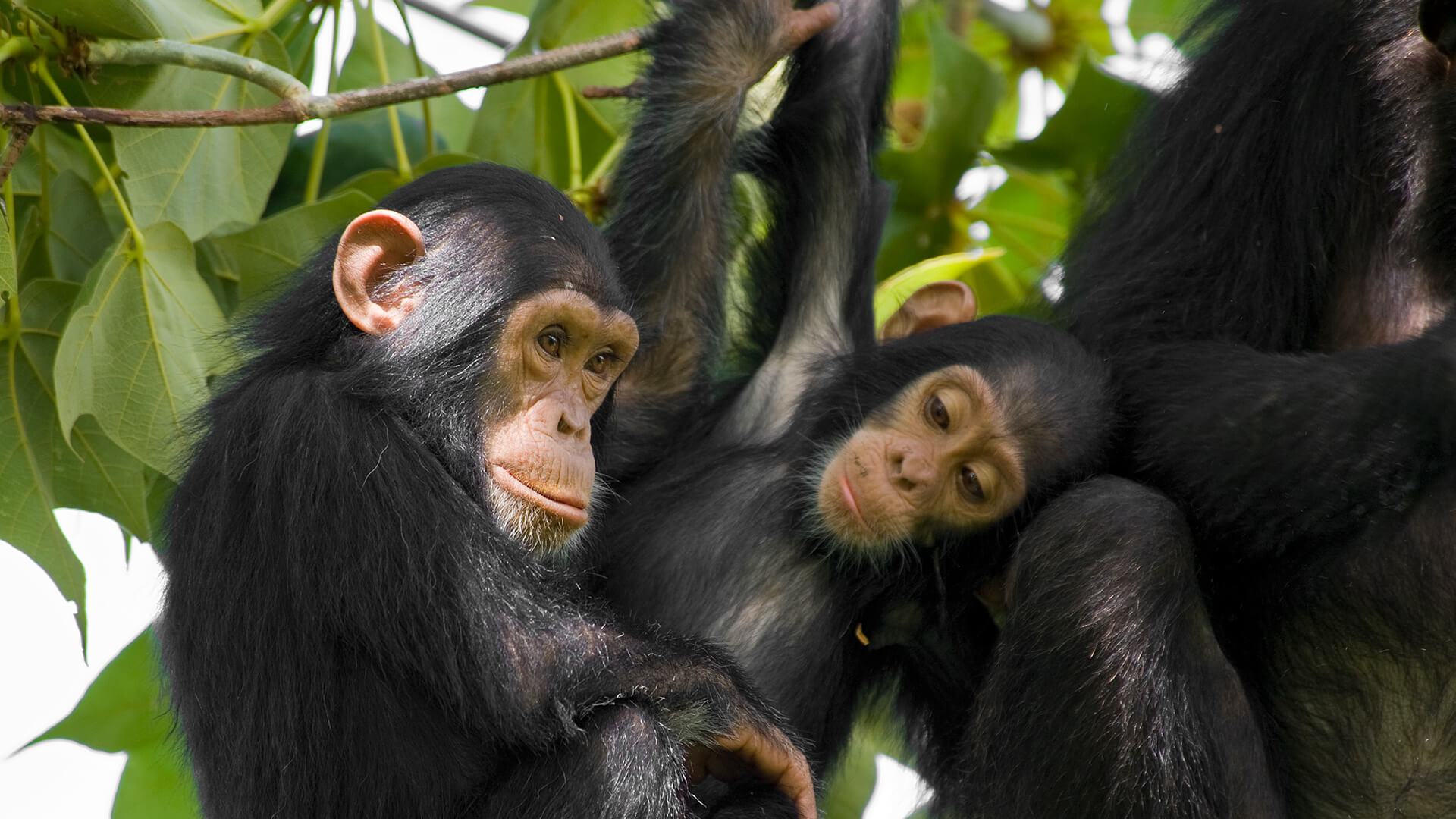 Two young chimpanzees sitting in a green leafy tree next to an adult