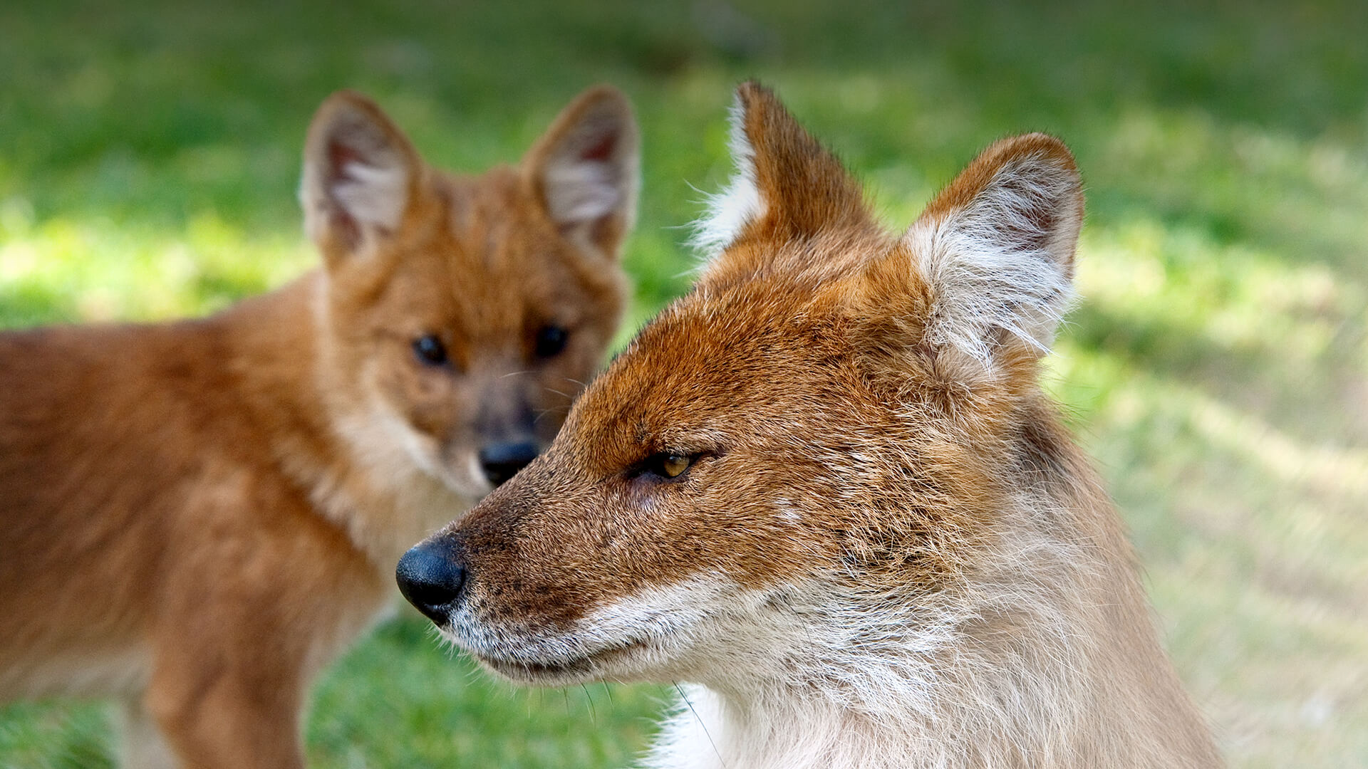 Dhole | San Diego Zoo Animals & Plants