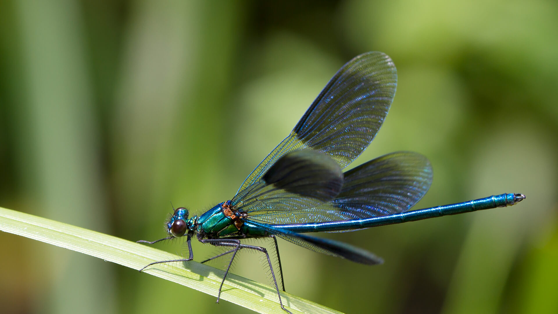 Blue iridescent dragonfly | Dragonflies | Pinterest |Iridescent Dragonflies