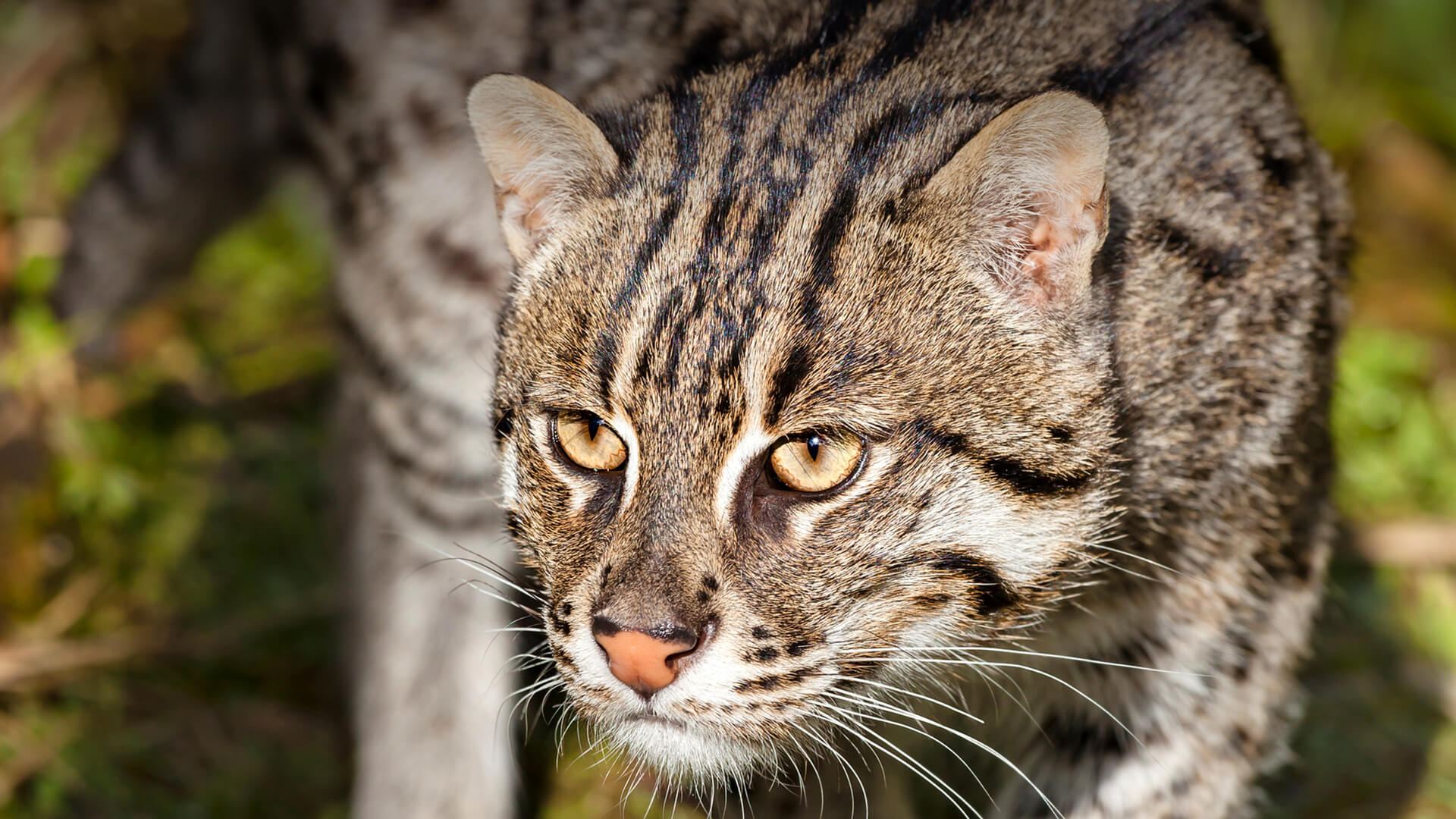 Fishing Cat | San Diego Zoo Animals & Plants
