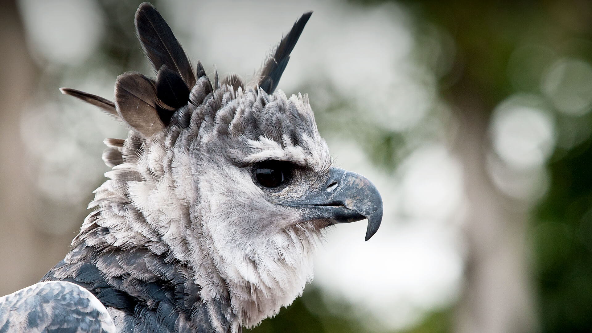 Harpy Eagle San Diego Zoo Animals Plants