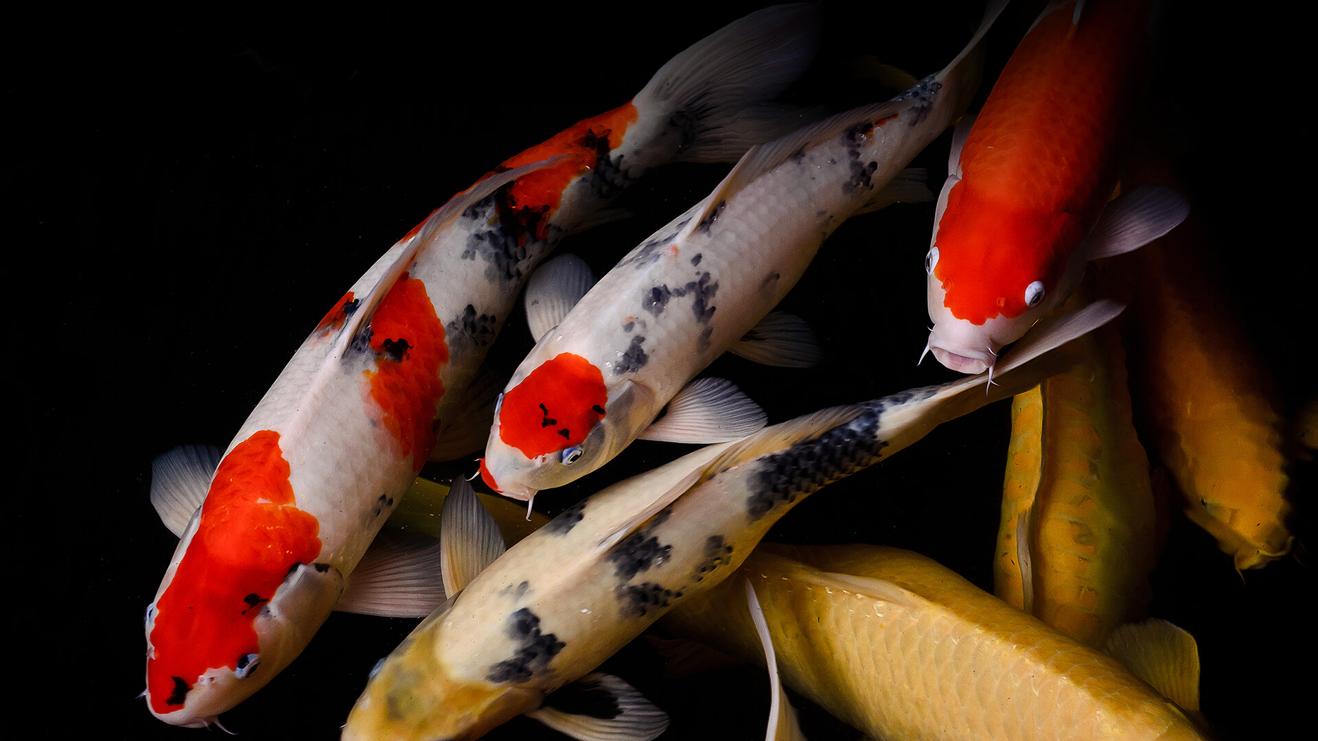 A group of multi-colored koi fish swim in dark water
