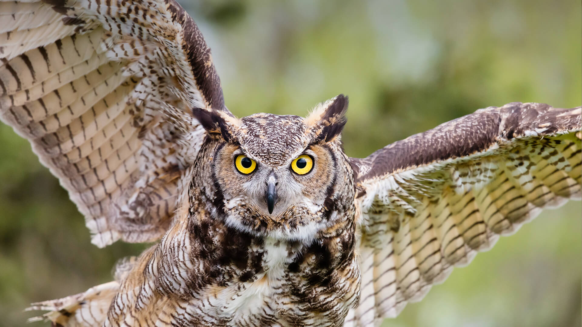 Owl san diego zoo animals plants great horned owl in flight biocorpaavc Images