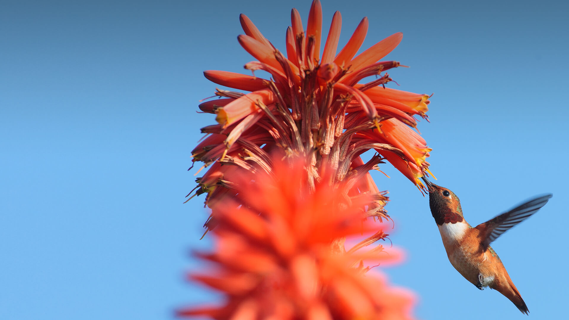 A hummingbird is attracted to the long, tubular blossoms of a coral tree.