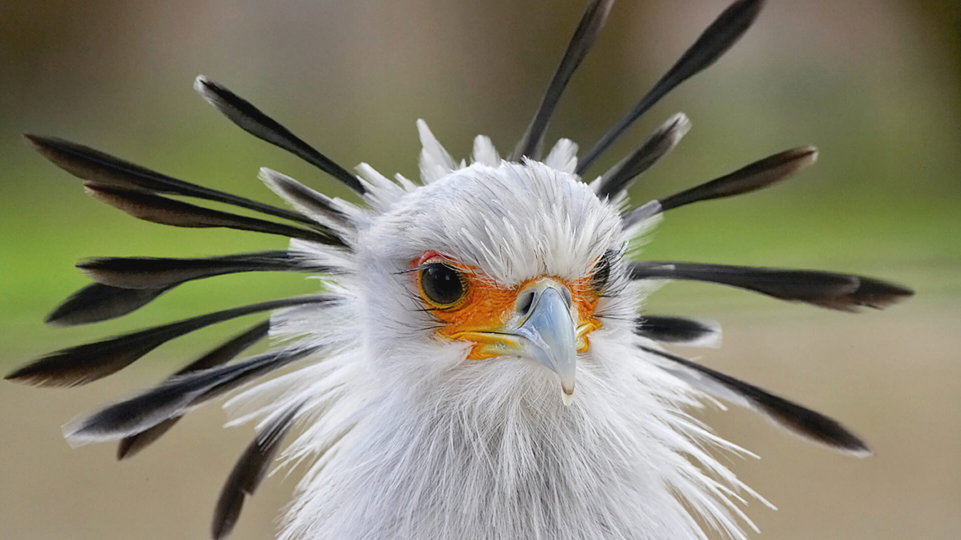 secretary bird san diego zoo animals plants