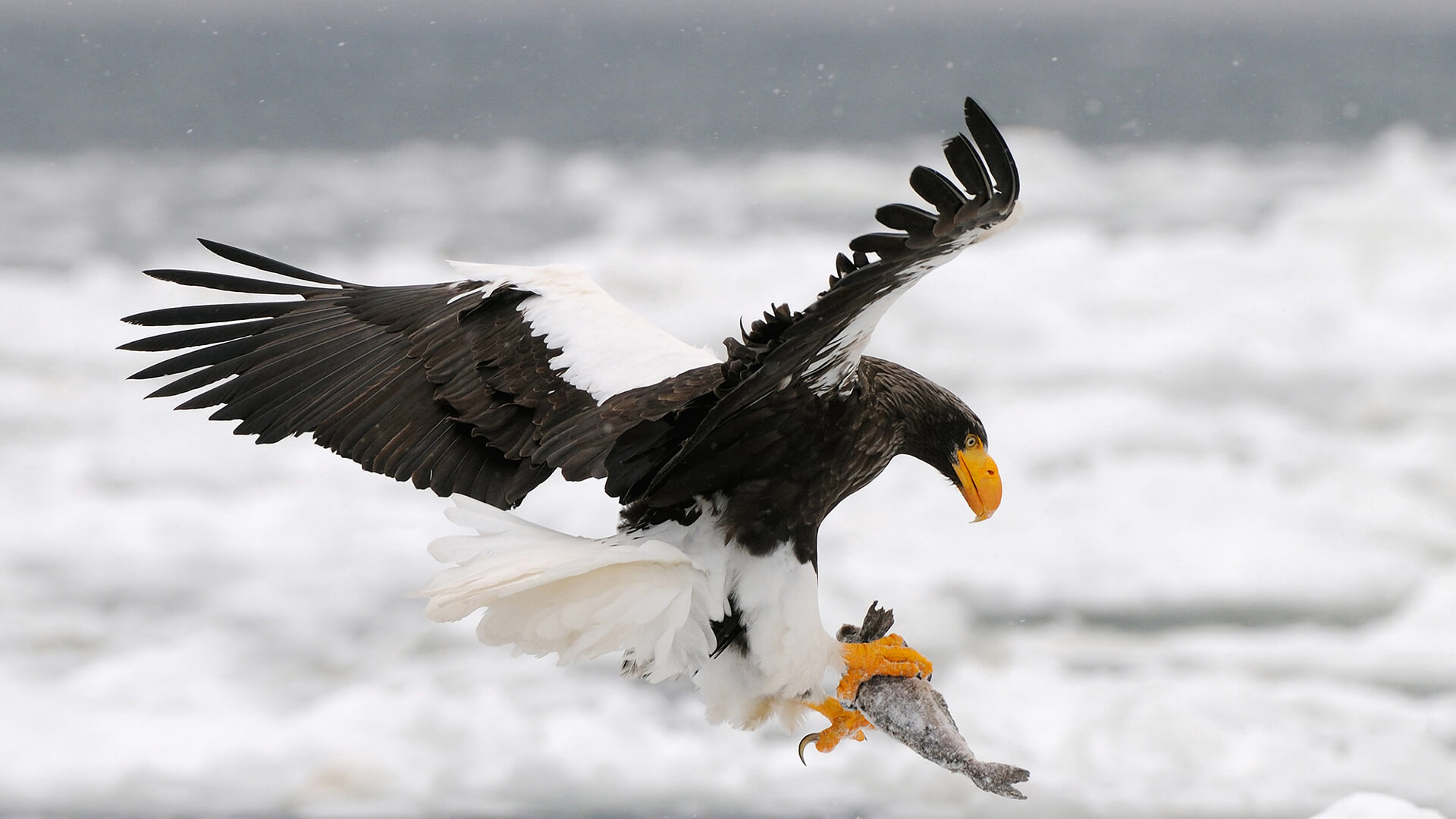Seller's sea-eagle holding frozen fish in its talons as it flies over snow covered sea