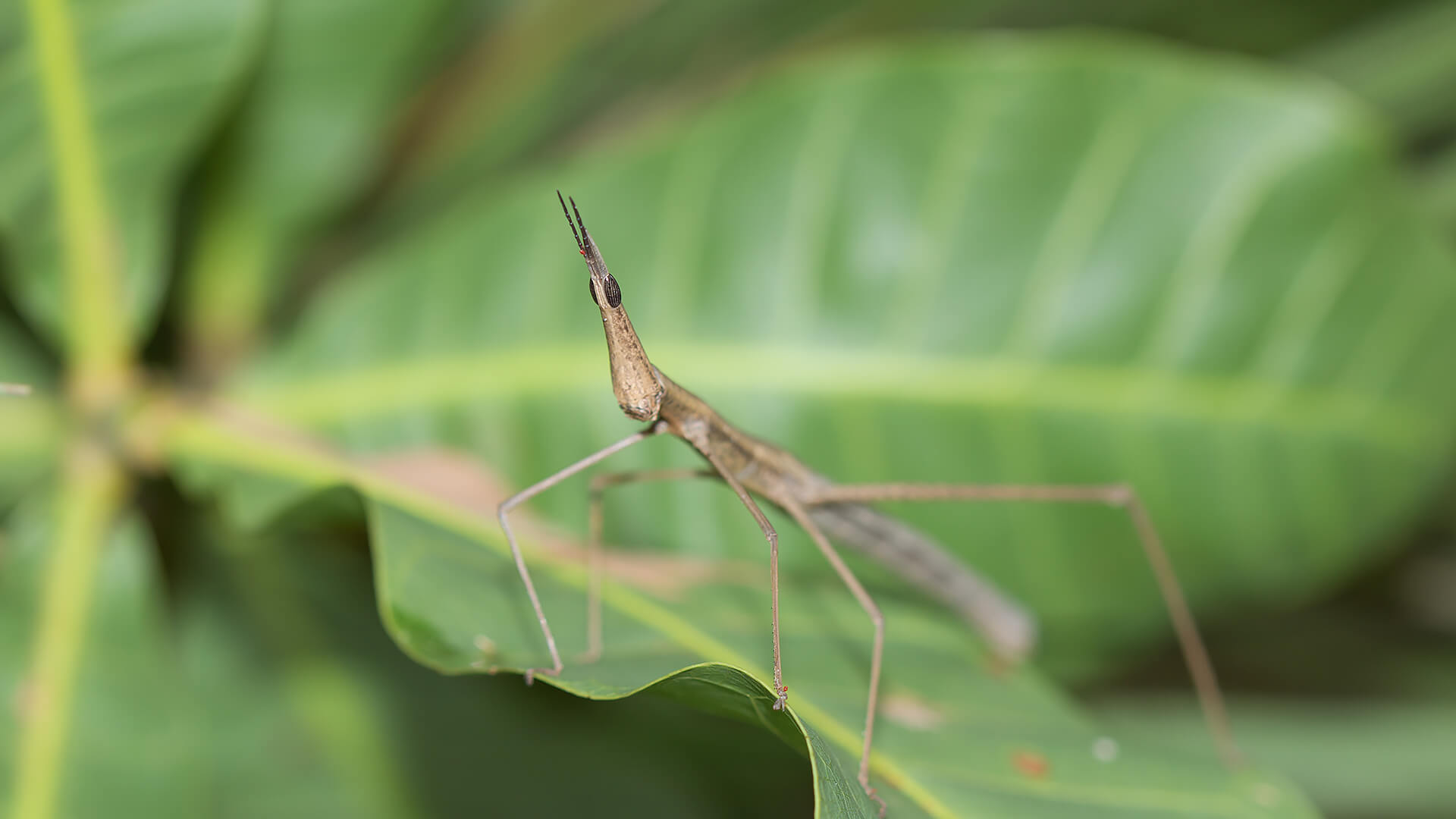 Jumping stick insect on large green leaf