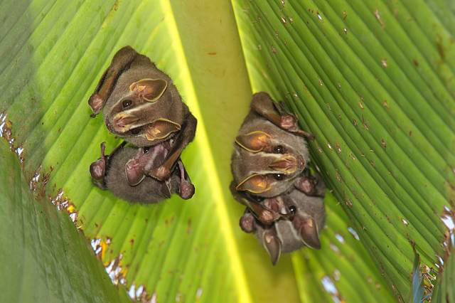 Common tent-making bats chew a leaf in such a way as to cause it to fold over the animals like a tent.
