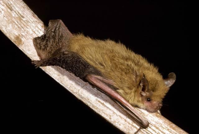 Bat San Diego Zoo Animals Amp Plants