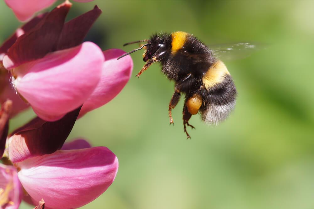 Bee | San Diego Zoo Animals & Plants - photo#24