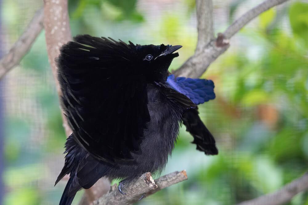 Bird of Paradise | San Diego Zoo Animals & Plants