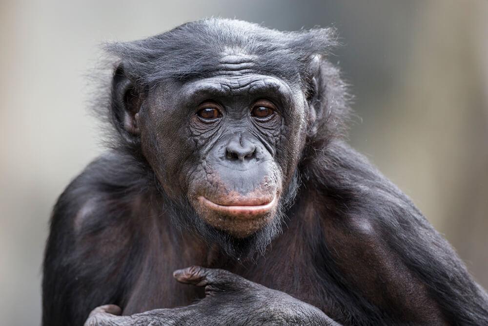 Bonobo San Diego Zoo Animals Plants
