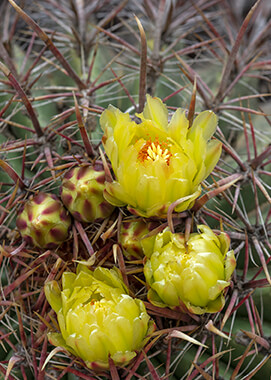 Barrel Cactus yellow blooms