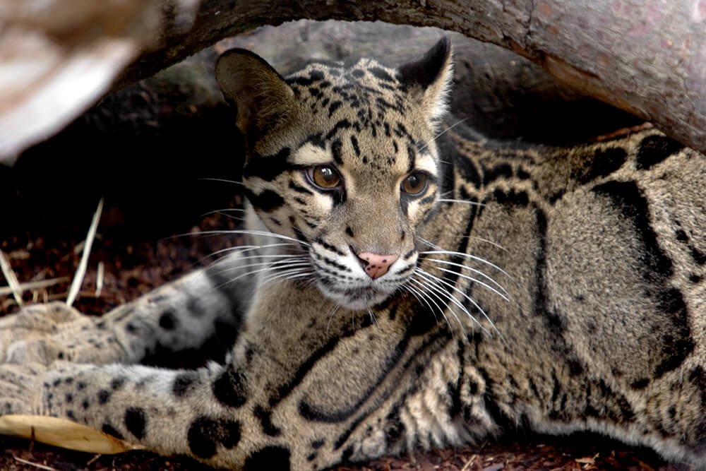 clouded leopard san diego zoo animals plants