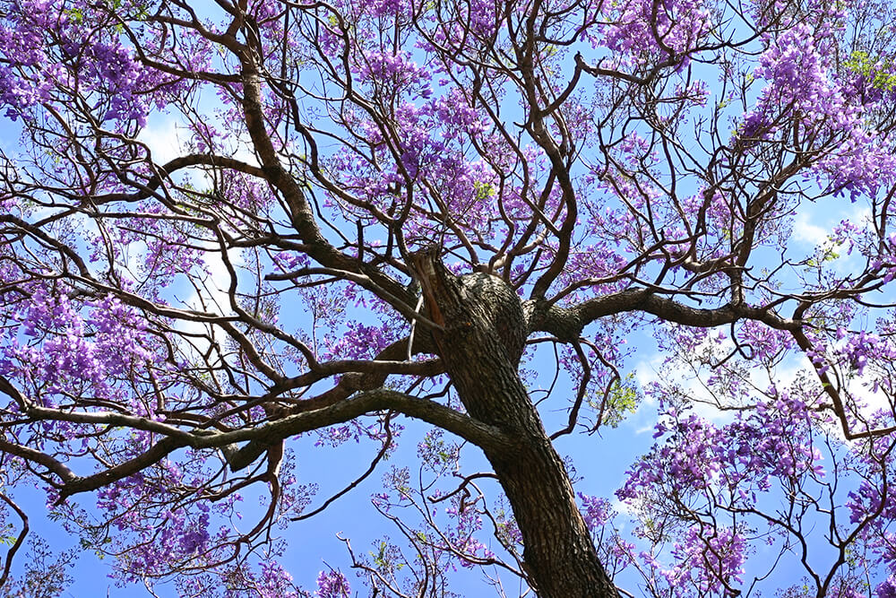 New Jacaranda | San Diego Zoo Animals & Plants ZY89