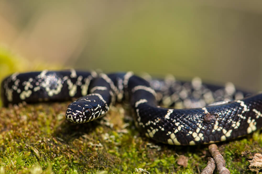 picture of king snake