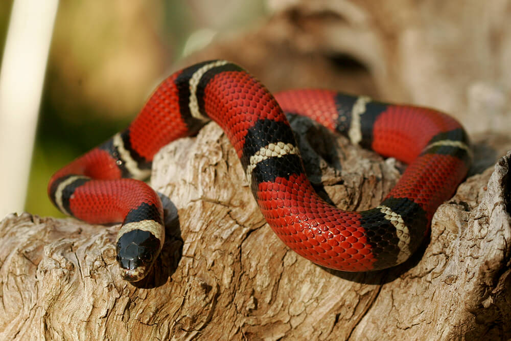 Kingsnake on Animals And Their Habitats