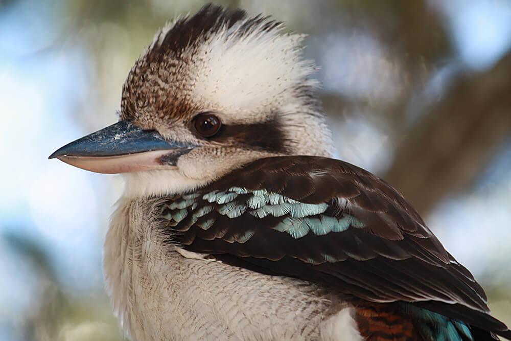 """Résultat de recherche d'images pour """"kookaburra"""""""