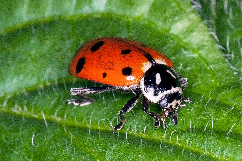 ladybug san diego zoo animals \u0026 plants Ladybug Diagram Body