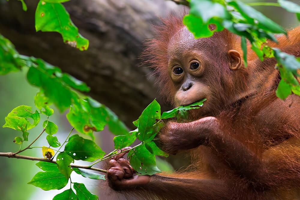 Orangutan Lifespan Orangutan | San Diego ...