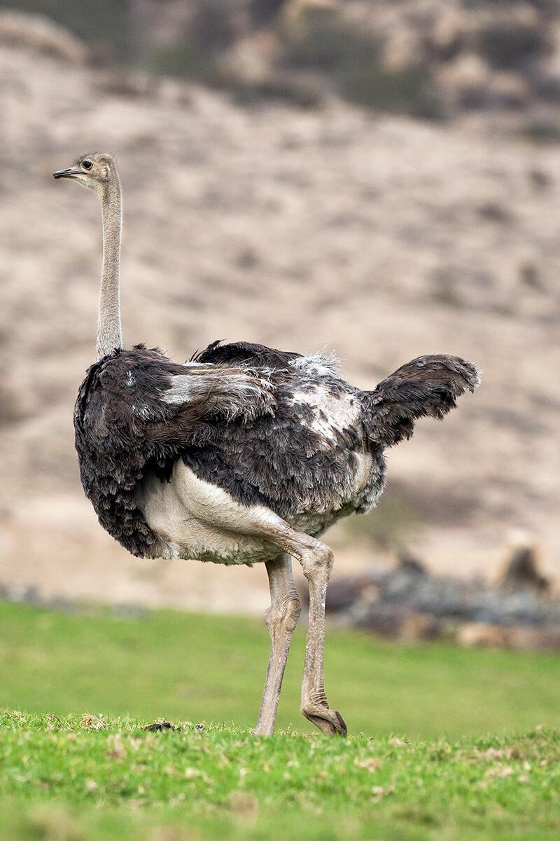 Ostrich | San Diego Zoo Animals & Plants