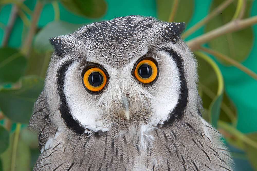 http://animals.sandiegozoo.org/sites/default/files/2016-10/owl_southern_white_faced.jpg