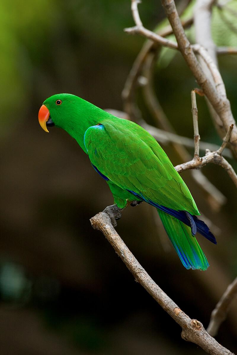 Long Island Parrot