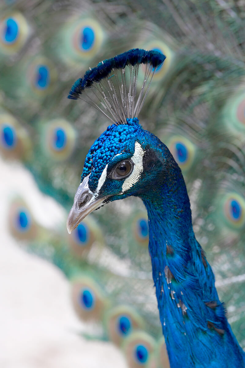Peafowl | San Diego Zoo Animals & Plants
