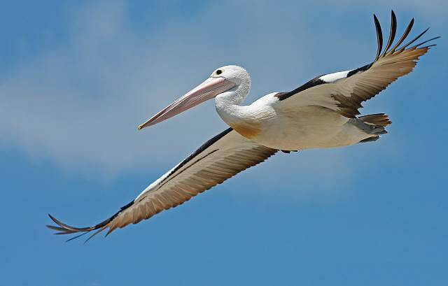 Pelicans Like This Australian Pelican Are Found Along Seacoasts Or Near Inland Lakes