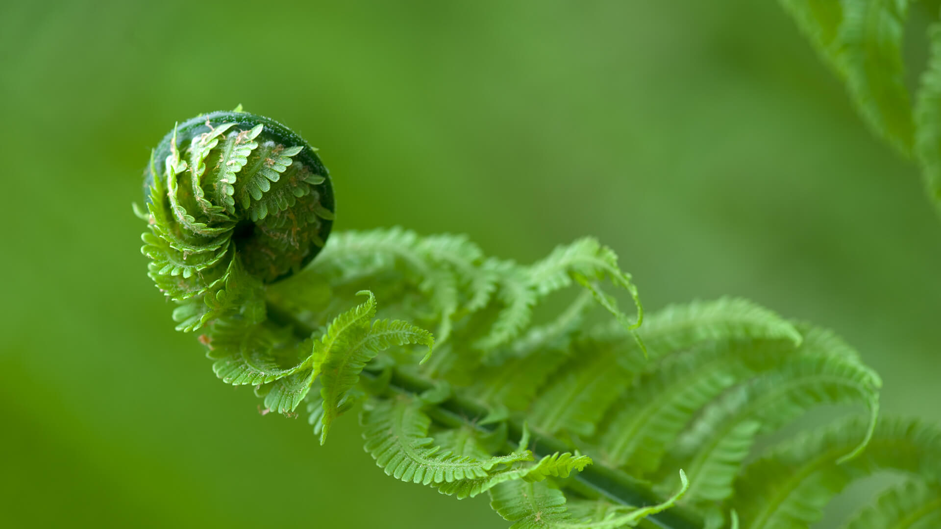 Fiddlehead fern uncoiling
