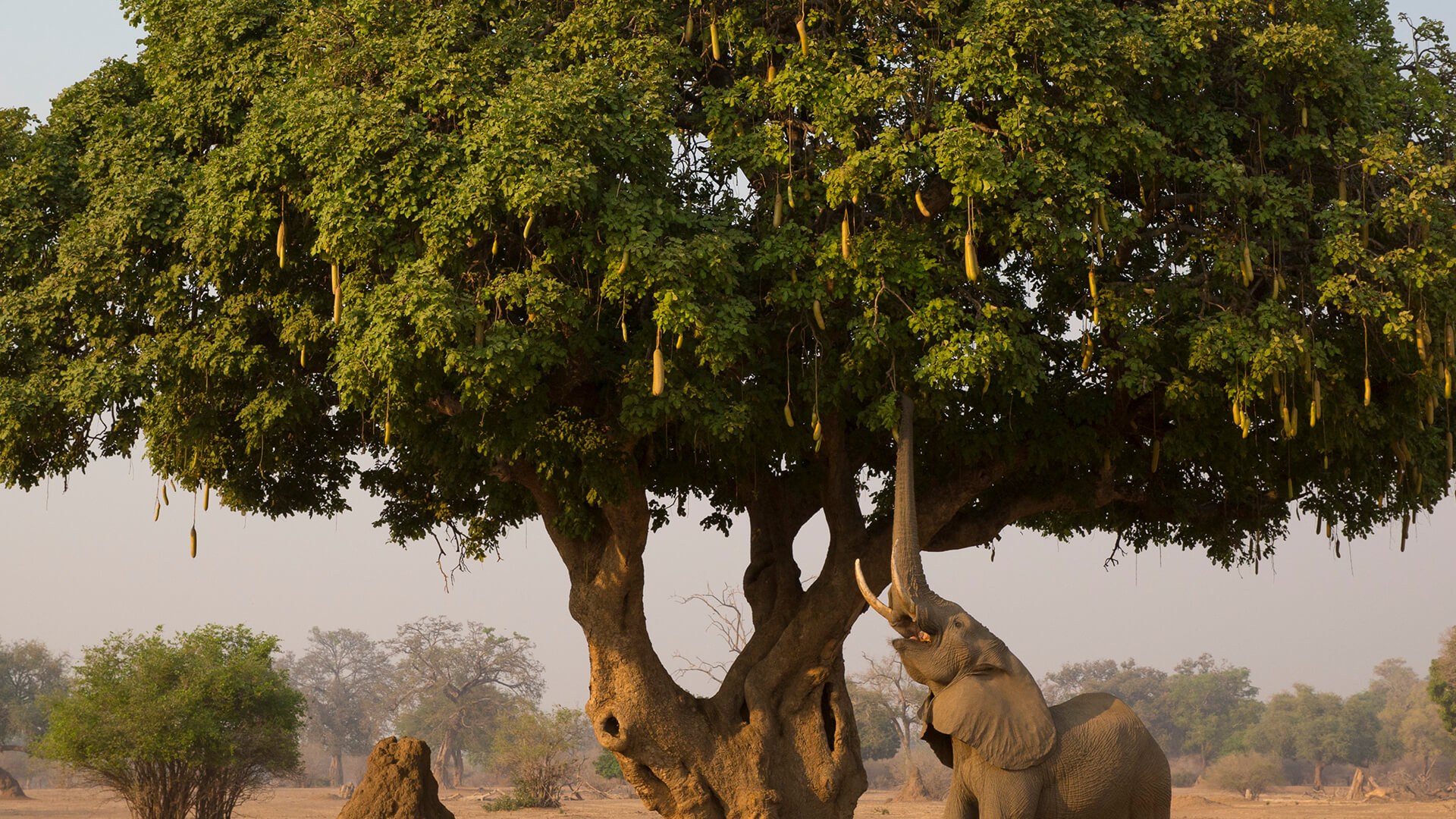 An African elephant using its trunk to grab fruit from a sausage tree.