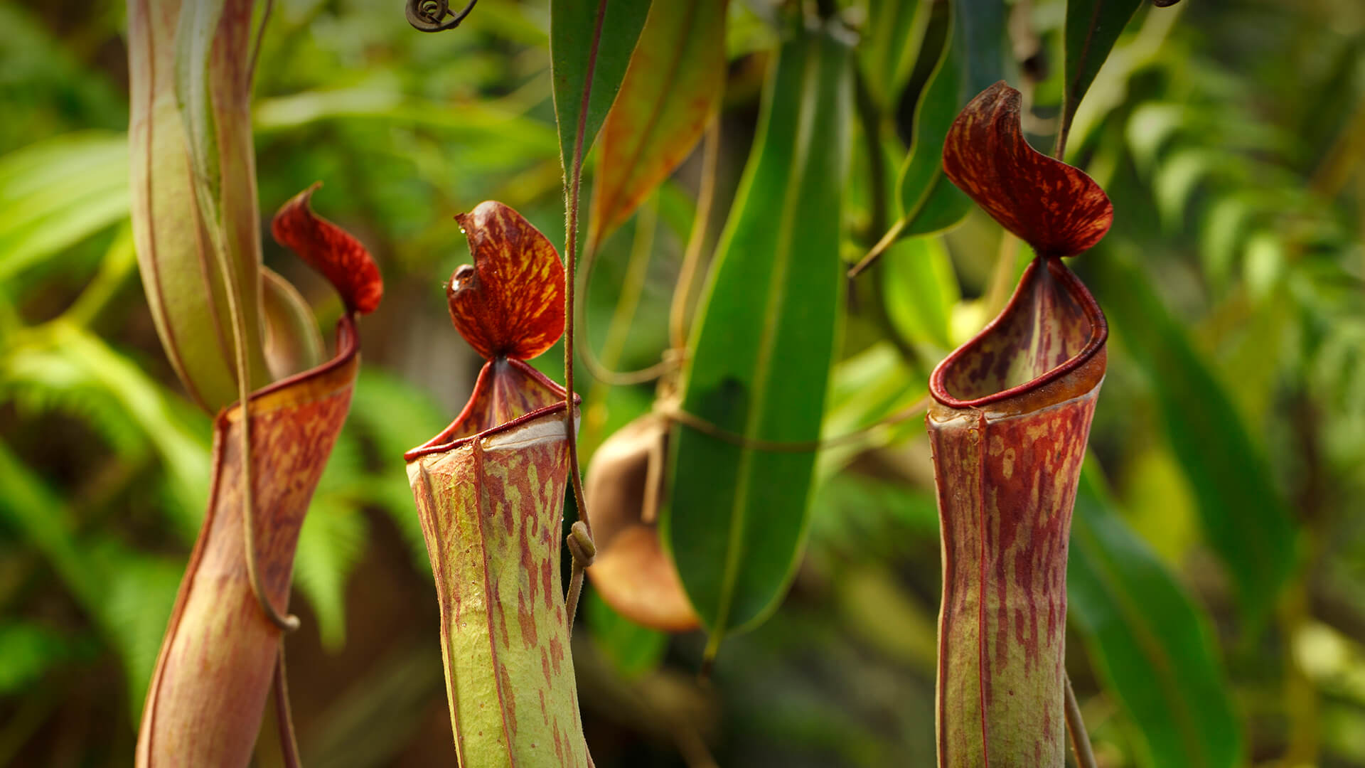 "Three tropical pitcher plant ""traps"""