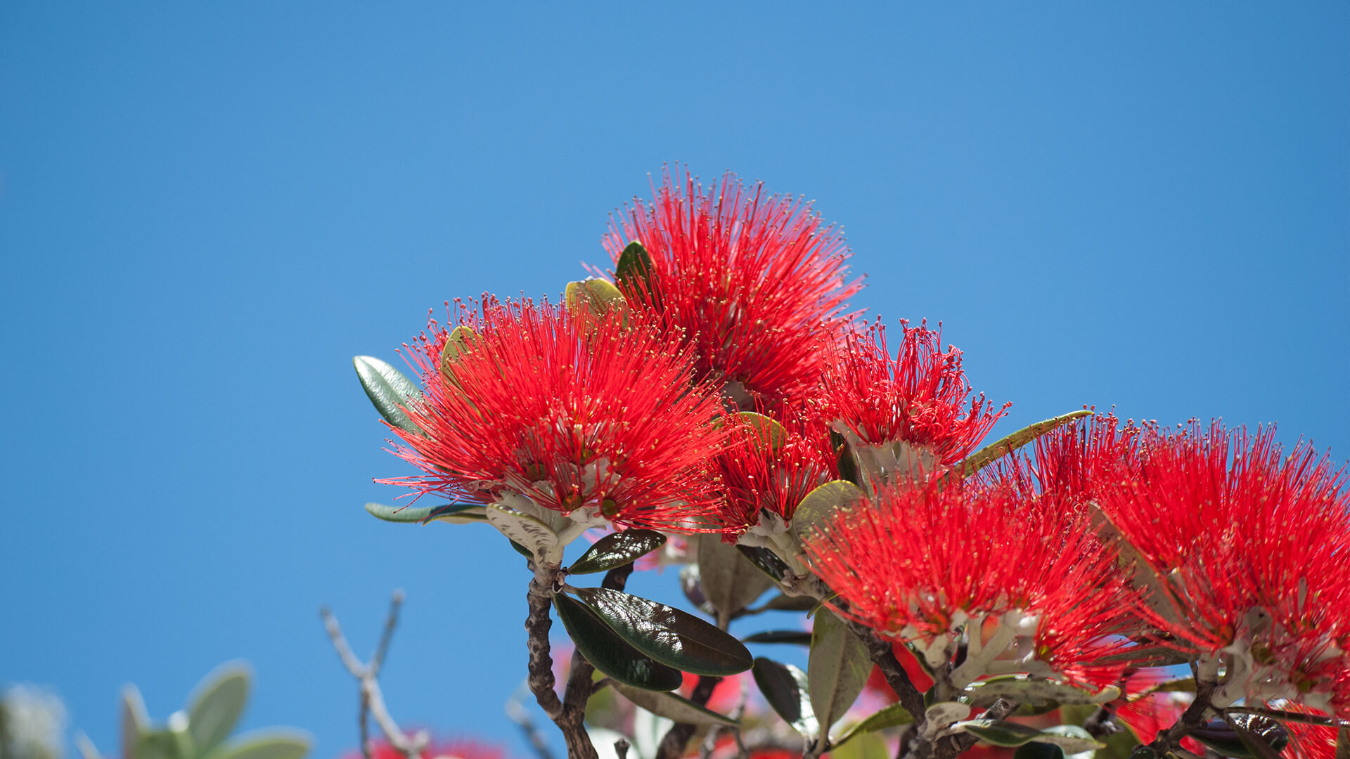 New Zealand Christmas Tree flowers