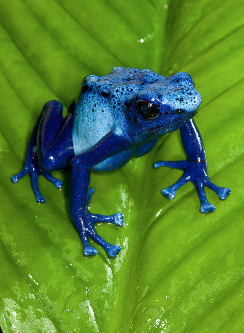 Poison Frog | San Dieg...