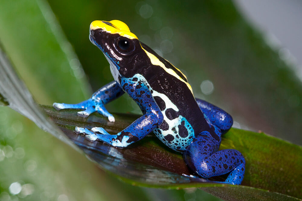 Dyeing Poison Frogs, Like This One, Get Their Name From A Legend About  Indigenous
