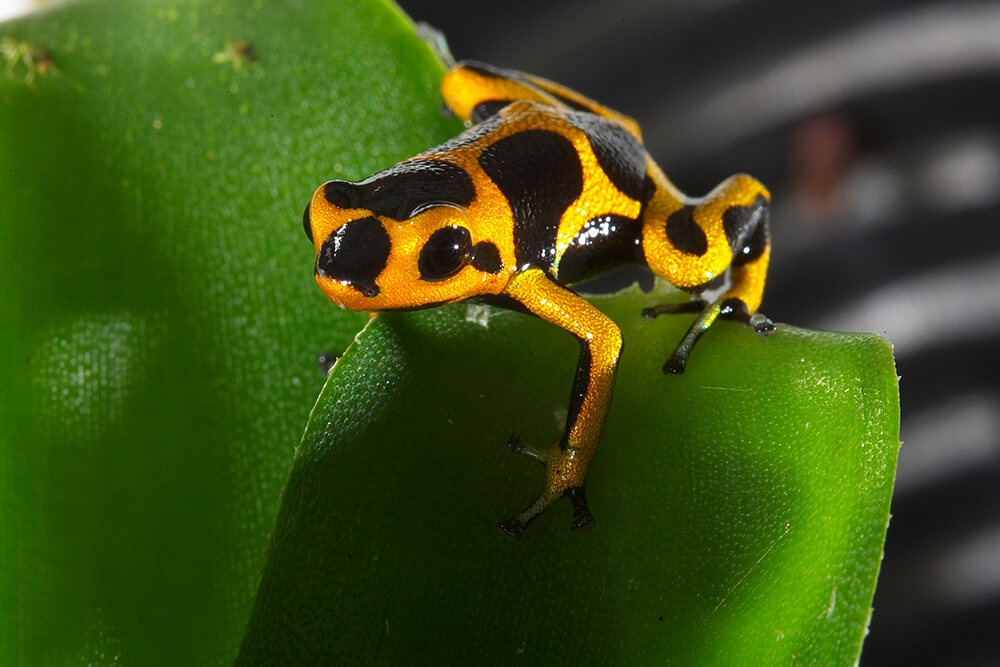 Poison Frog | San Diego Zoo Animals & Plants Green Frogs Poisonous