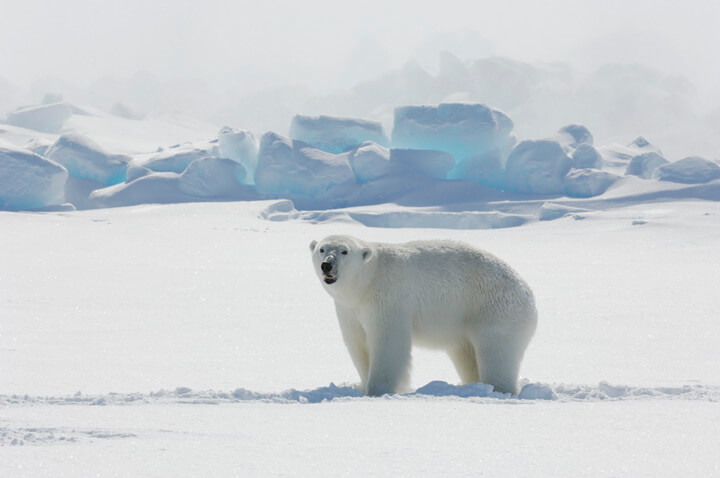 How Long Can A Polar Bear Live Without Food