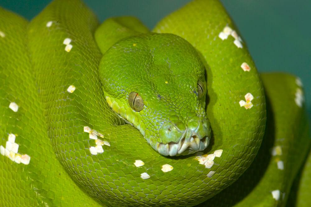 Python San Diego Zoo Animals Amp Plants