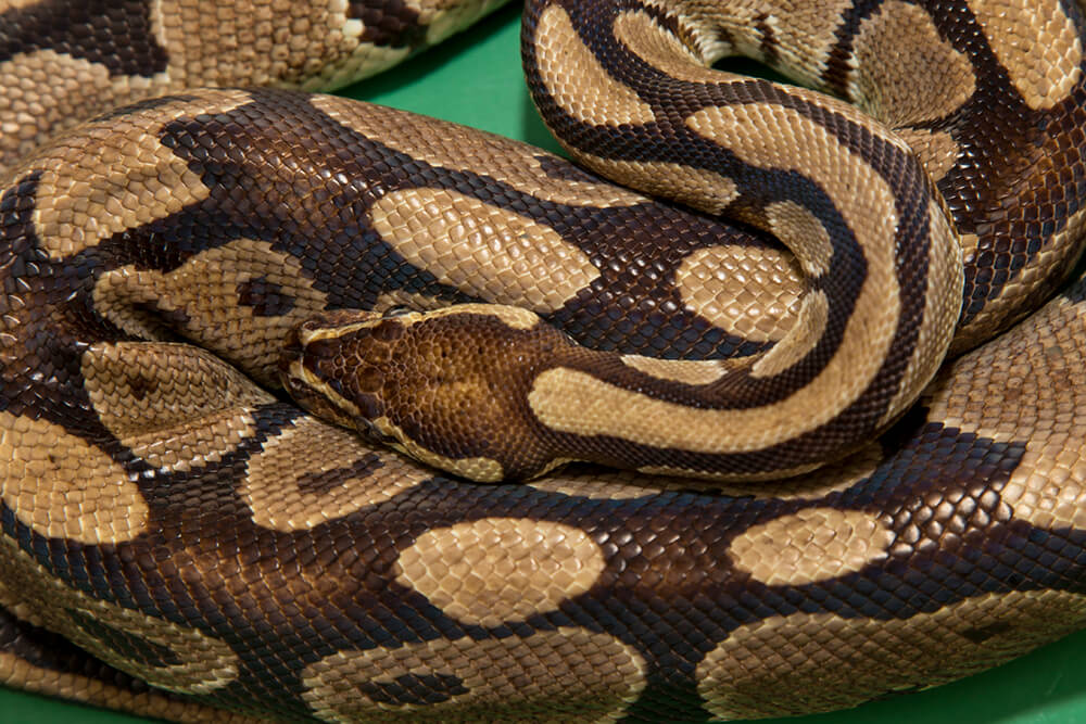 Python San Diego Zoo Animals Plants