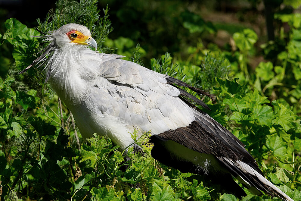 Secretary Bird | San Diego Zoo Animals & Plants