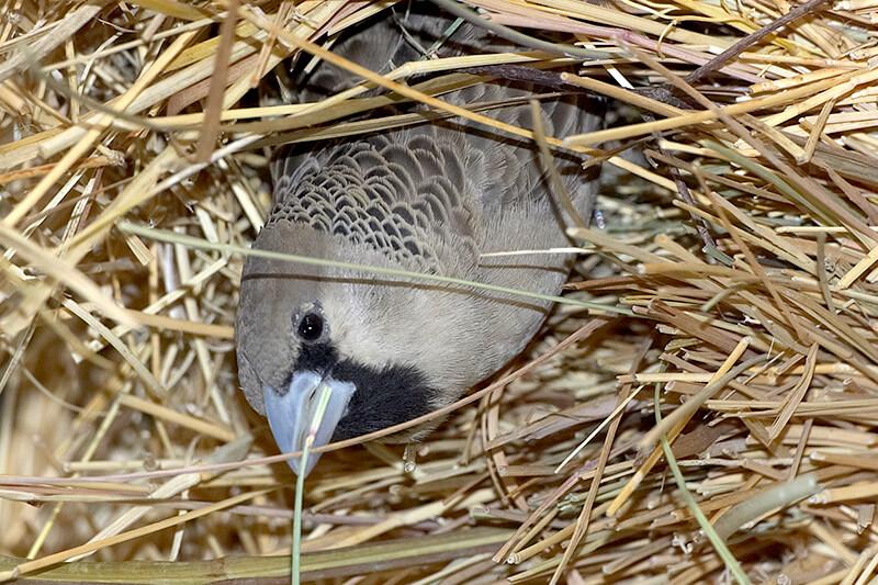 Sociable Weaver San Diego Zoo Animals Plants