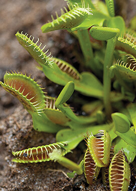 Venus flytrap at the San Diego Zoo Bog Garden