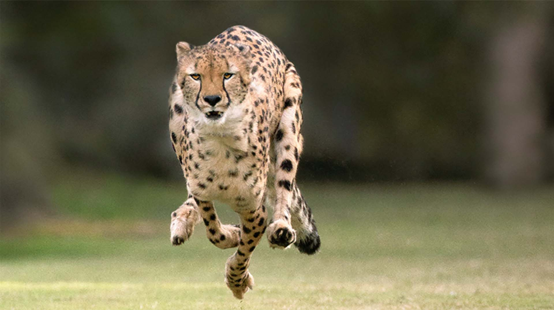 Ruuxa at the Safari Park's Cheetah Run