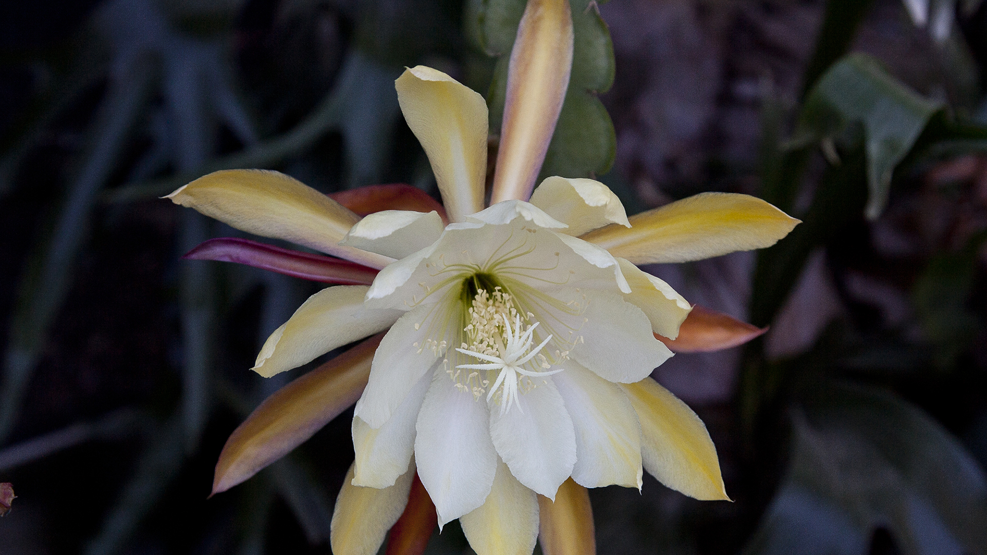 A multi-colored close shot of an epiphyllum.