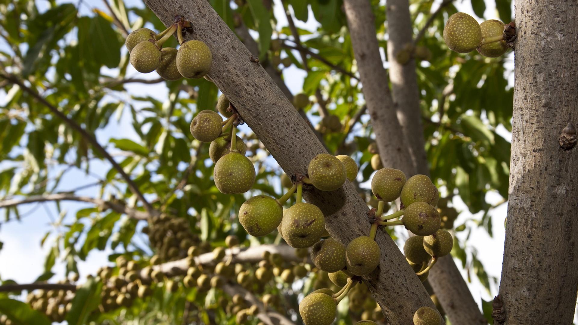 many figs are shown hanging on a ficus tree - Ficus Trees