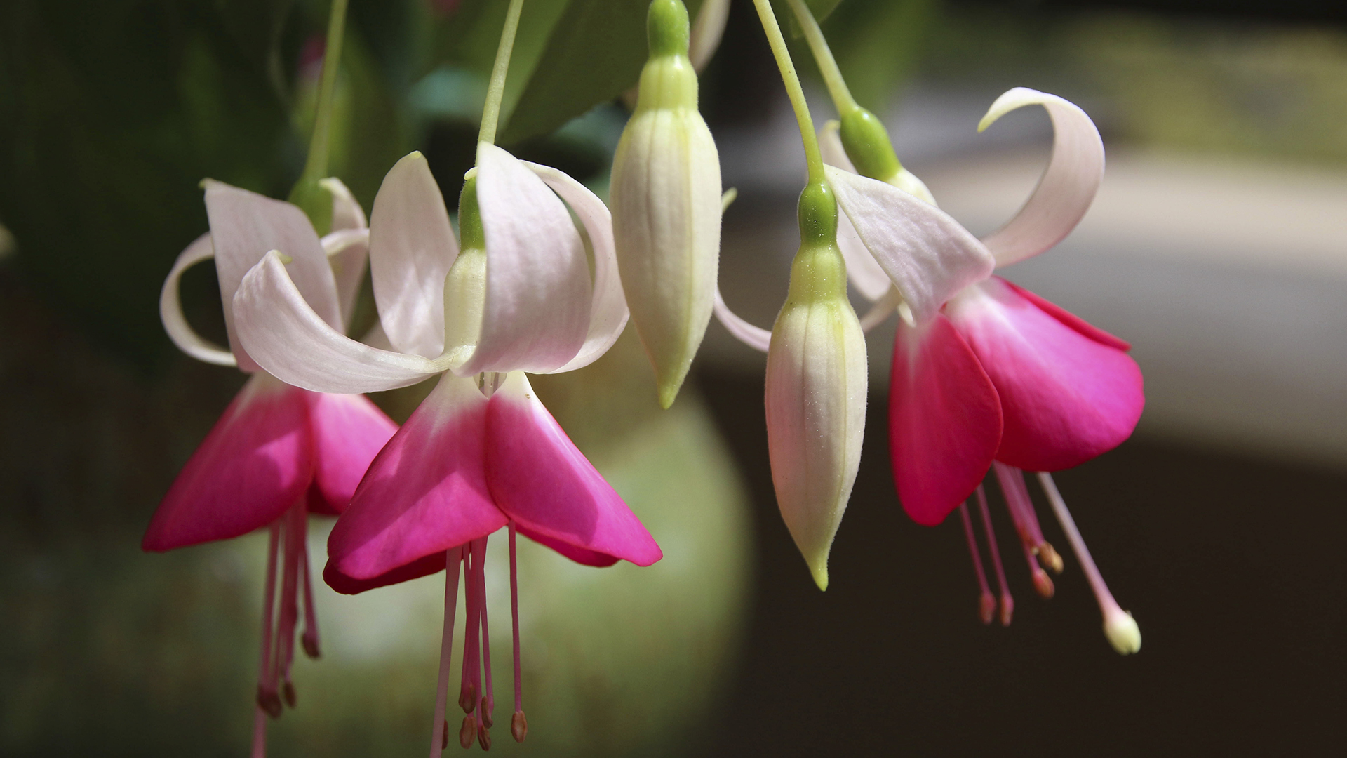 Fuchsia san diego zoo animals plants a group of pink and white fuchsia flowers mightylinksfo