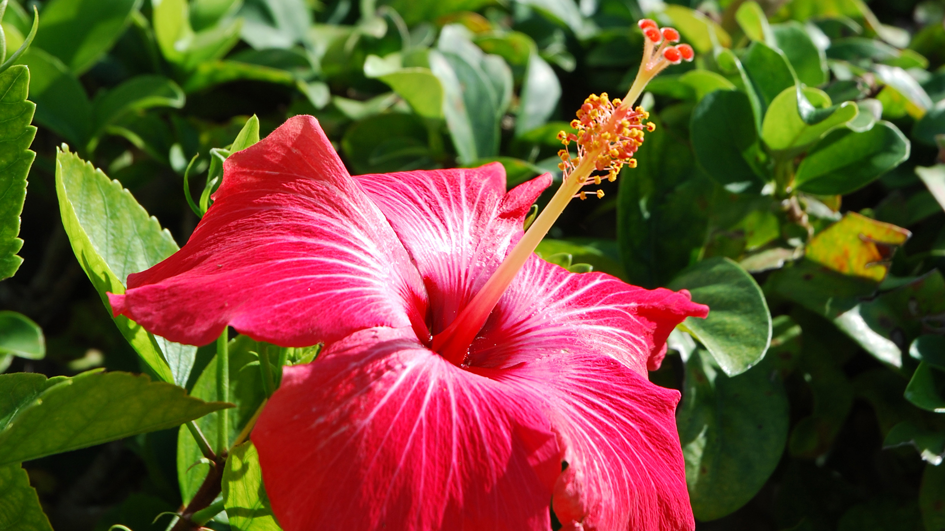 Hibiscus San Diego Zoo Animals Plants